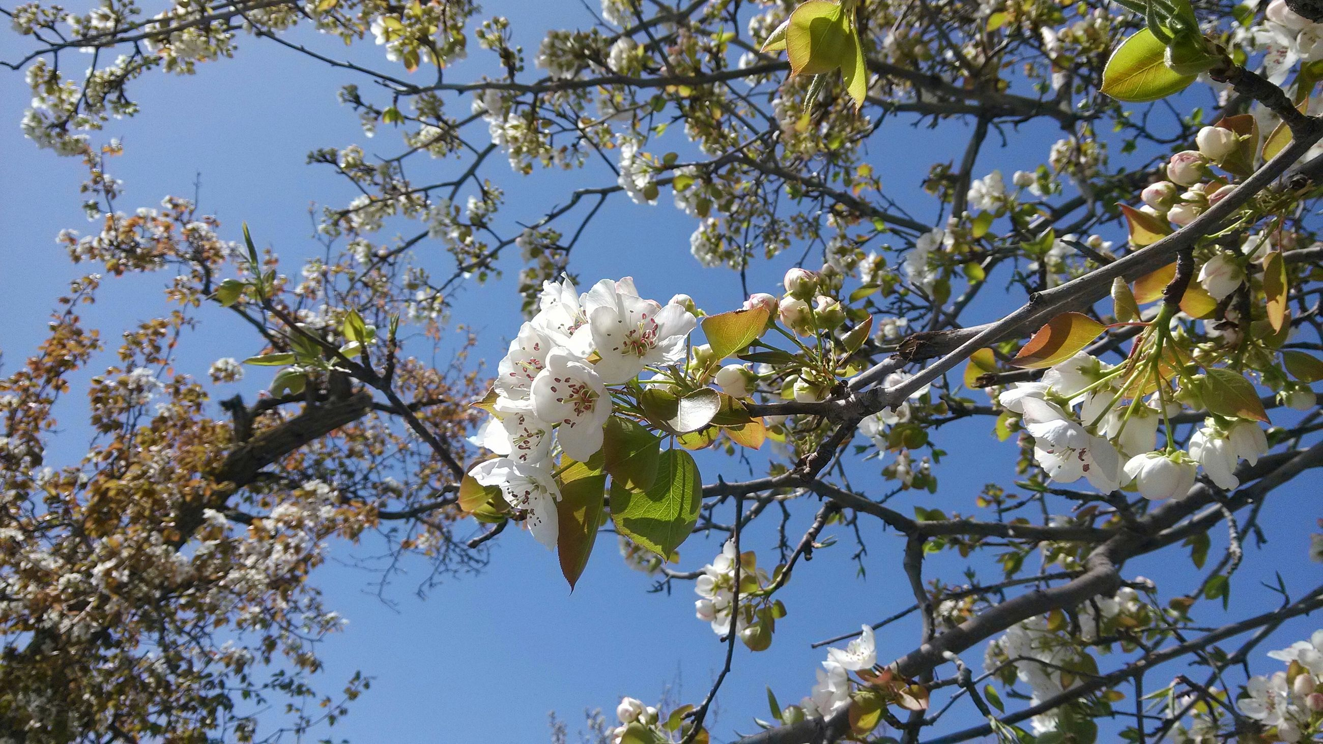 branch, low angle view, tree, growth, nature, beauty in nature, clear sky, flower, freshness, white color, sky, day, outdoors, blossom, cherry blossom, no people, blue, cherry tree, sunlight, fragility