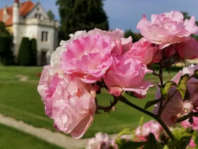 Close-up of pink Roses. Europe Czech It Out Park - Man Made Space UNESCO World Heritage Site Topiary Plant Plant Life Pink Rose Garden Garden Photography Formal Garden Lawn Grass Rose - Flower Flower Head Flower Tree Pink Color Sky Architecture Building Exterior Pale Pink Blooming In Bloom
