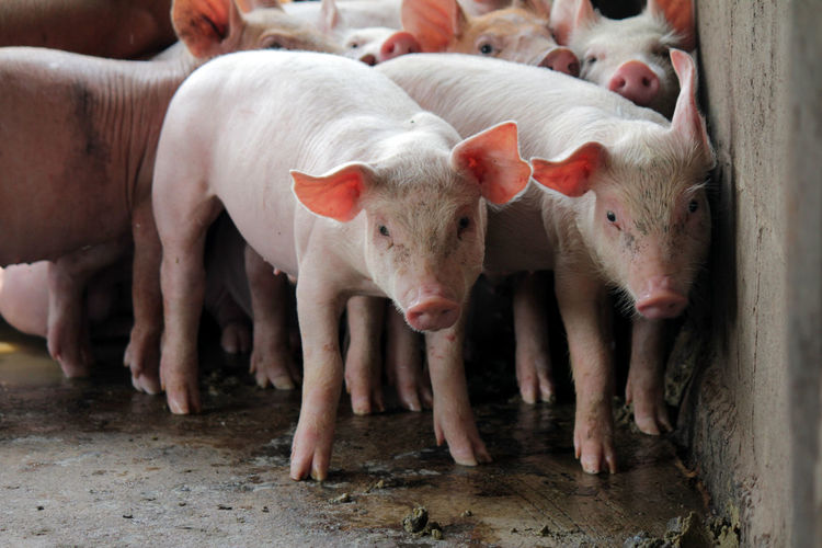 Small pigs in the stable are eating and growing. To send to the slaughterhouse. Is a pork industry To be human. Small Pigs In The Stable Are Eating And Growing. To Send To The Slaughterhouse. Is A Pork Industry To Be Human. Agriculture Animal Animal Themes Day Dirt Domestic Domestic Animals Farm Group Of Animals Herbivorous Large Group Of Animals Livestock Mammal No People Outdoors Pets Pig Piglet Snout Standing Vertebrate Young Animal