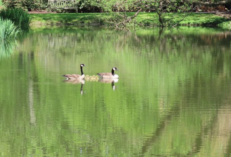 Animal family Canada geese swimming water reflections green color beauty in nature animal themes Birds of EyeEm outdoors Water Bird Animal Themes Group Of Animals Green Color No People