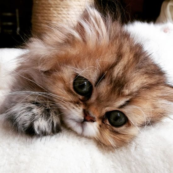 Kitten Adorable Cute Cats Cute Pets Cute Cat Cat Lovers Kittenoftheday Kitten Love Kittens Of Eyeem Persan Persian Persiancat