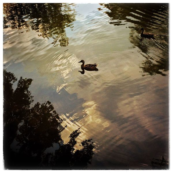 Duck on the banks of the Red Cedar Msu