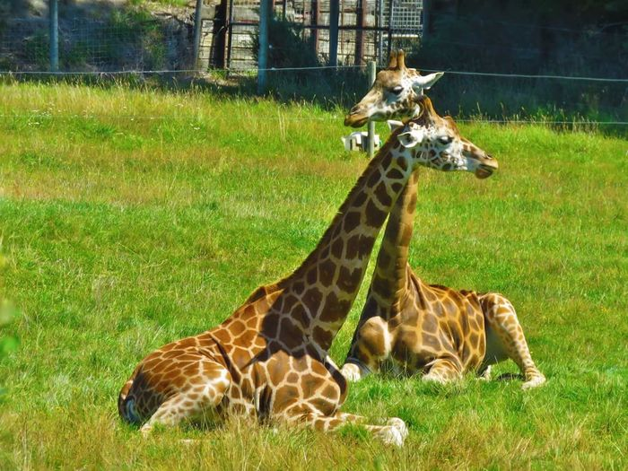 Animal Themes Grass Spotted Zoo Sunlight Animal Markings No People Animal Wildlife Giraffe