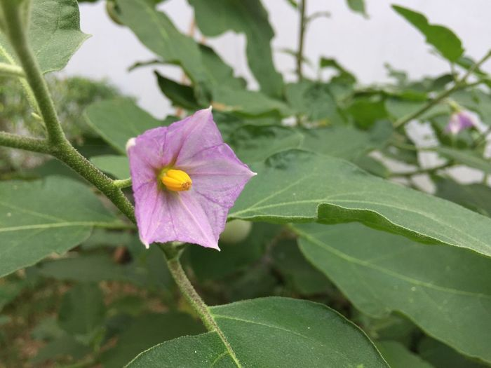 Thai Eggplant Leaf Flower Fragility Growth Plant Petal Nature Day Flower Head Beauty In Nature Green Color Close-up No People Blooming Outdoors Freshness