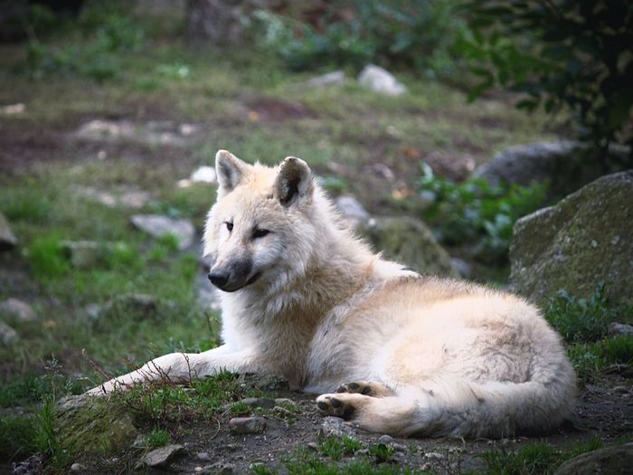White Wolf White Wolf Majestic Pic Fur WOlves Wolf White Animal Animal Themes Mammal Animal Wildlife One Animal Animals In The Wild Vertebrate Relaxation No People Solid Rock Nature Rock - Object Day Resting Outdoors Looking Focus On Foreground Land Lying Down