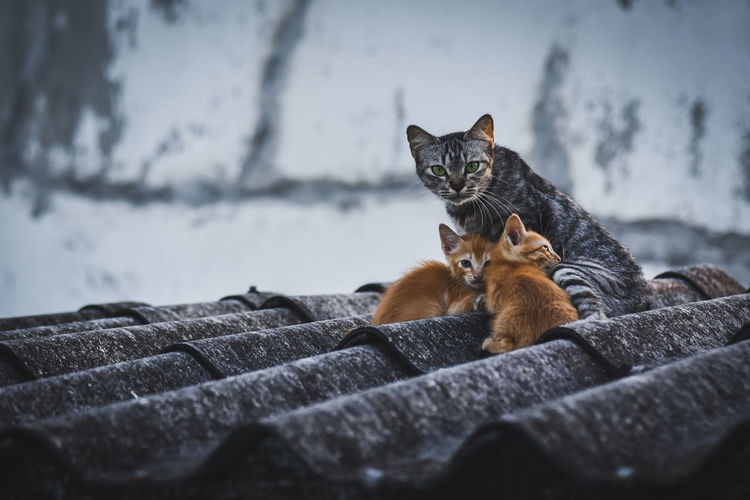 Portrait of cat with kittens on roof