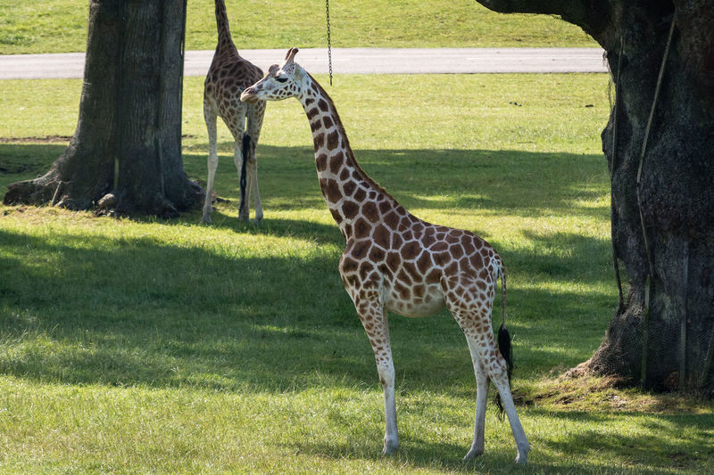 Giraffe standing on field in zoo