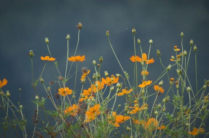Nature Flower Cosmos キバナコスモス