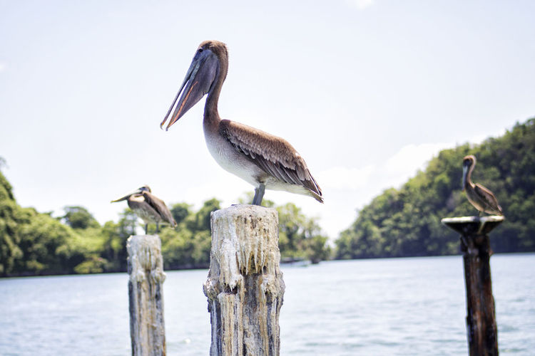 Pelican perching on wooden post in lake against sky during sunny day