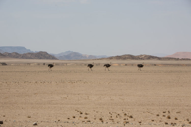 Ostriches on field against sky