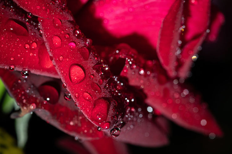 Garden Photography (cont.): After the rain Garden Garden Photography Outdoors No People Rain Raindrops Drop Water Wet Freshness Close-up Plant Growth Flowering Plant Beauty In Nature Red Flower Fragility Vulnerability  Petal Nature Flower Head Purity RainDrop Dew Rainy Season Rose - Flower