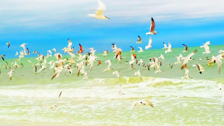 Flock Of Birds In Action Seagulls And Sea Flying Ocean Photography Gulf Of Mexico Sarasota Florida Lido Key Happy Birds Ocean View Ocean Waves Spread Your Wings And Fly Uh Oh Look Up In A Hurry  Sand
