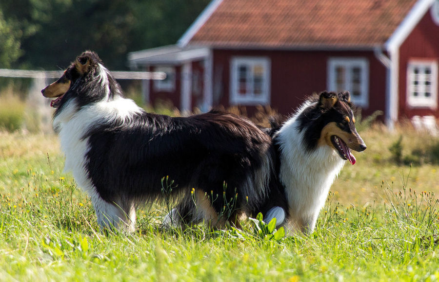 Molly and Kendza are sisters, They are so sweet to each other, and I LOVE them so much. Here we was walking by the sea, just outside Gothenburg. Collie Collies Dog Doglover Dogs Free Spirit Havingfun Lassie Love Love Is Not Just A Verb, It's You Looking In The Mirror Love Lovely Sun Two Of A Kind Summer ☀ Animal_collection Don't Worry Be Happy Summer Dogs Befree ❤️ Collie #roughcollie #photooftheday #cute #dogsofinstagram #bordercollie #igers #poser #saturday #happiness #dogstagram #bluemerle #dog #welshcollie #lovedogs #bordercollies #ig #igdaily #potd #picoftheday #happy #love Playtime Happiness Pets Summer2015 h Animal Themes