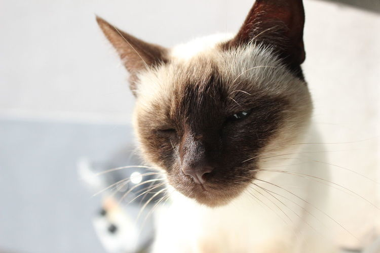 Animal Animal Portrait Blink Bright Cat Cat Eyes Cateyes Cats Close-up Domestic Animals Domestic Cat Focus On Foreground Happy No People Nofilter Pet Pets Purr Siam Siamcat Siamese Siamese Cat Siamesecat Siamesecats White