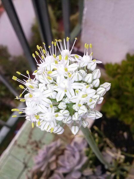 Springonions Flower Blossom Nature Springtime Flower Head Fragility White Color No People Beauty In Nature Freshness Close-up Growth Day Petal Plant Outdoors