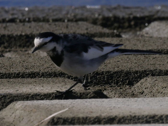 I like to see wagtail walking. Black-backed Wagtail Animal Themes Animal Wildlife Animals In The Wild Bird Nature No People One Animal Outdoors