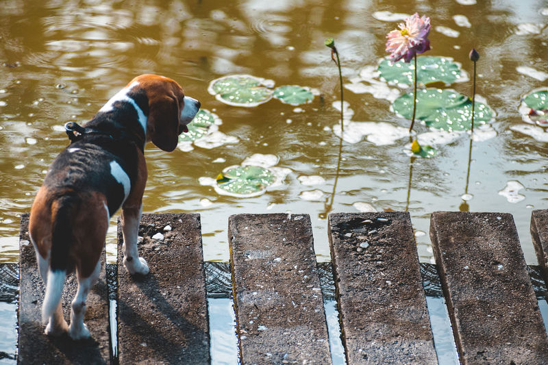High angle view of beagle standing on footbridge over lake