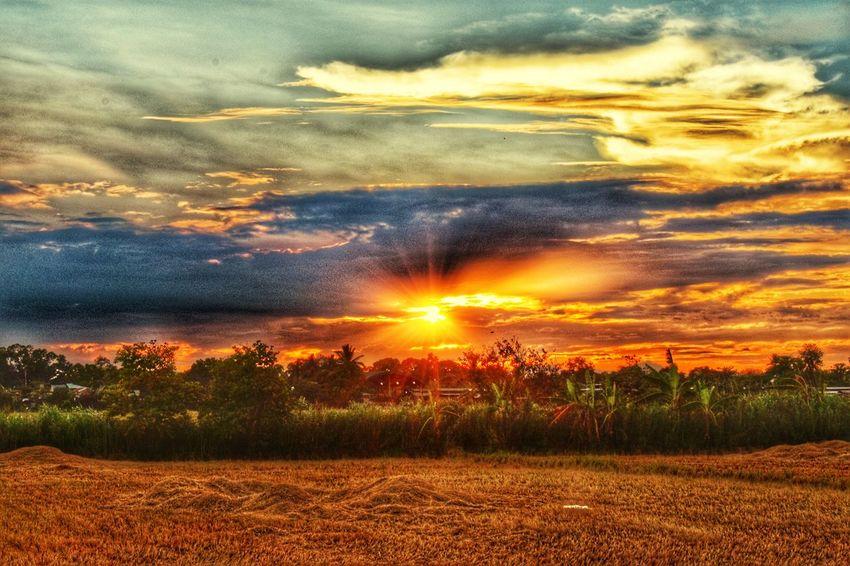 Rice Field Sunset Land Plant