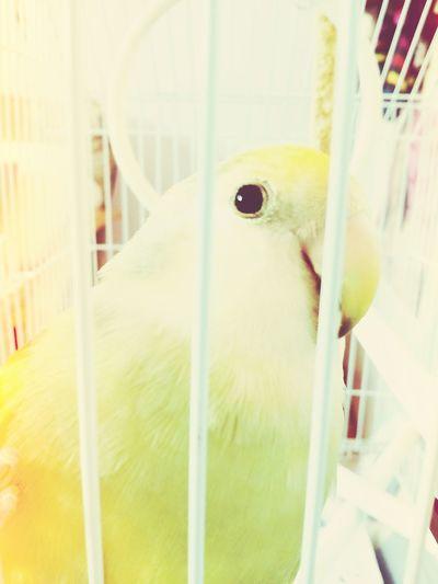 Parrot Đole