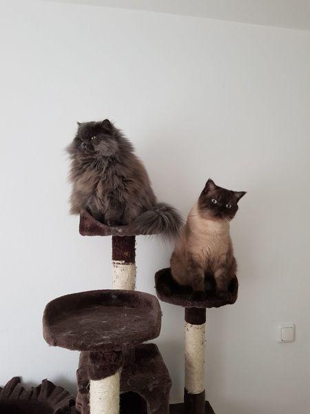 Shooting :) Katze Cat Kratzbaum Haustier Perserkatze Siamese Cat Animal Themes Pets Indoors