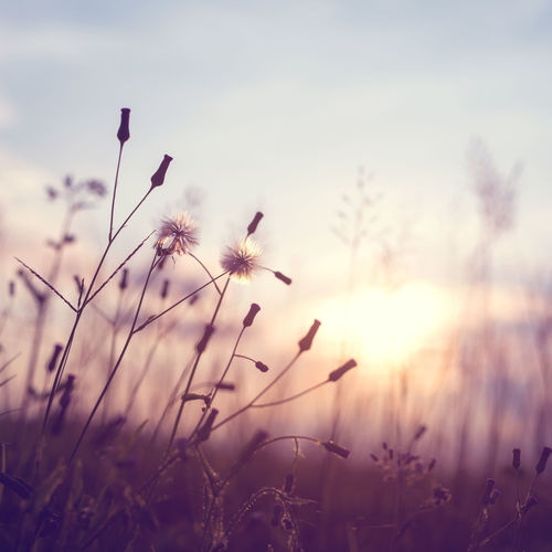 Evening autumn nature background, beautiful meadow dandelion flowers in field on orange sunset. vintage filter effect Nature Rustic Sunlight Vintage Style Beauty In Nature Countryside Dandelion Day Field Flower Freshness Growth Meadow Nature No People Outdoors Plant Rural Scene Sky Sunset Tranquility Wild Flowers