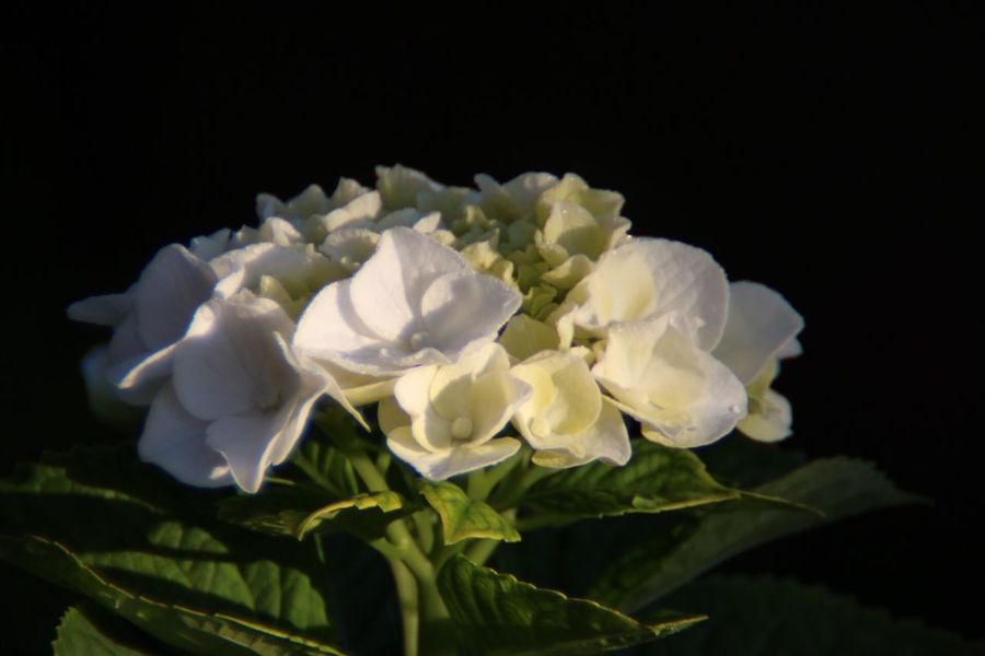 Macro Macro Photography Hydrangeas Flower Petal Flower Head Black Background Fragility White Color Beauty In Nature Freshness Nature Studio Shot Growth Close-up Rose - Flower No People Plant Blooming Leaf Outdoors Day EyeEm Best Shots - Nature Still Life Fine Art
