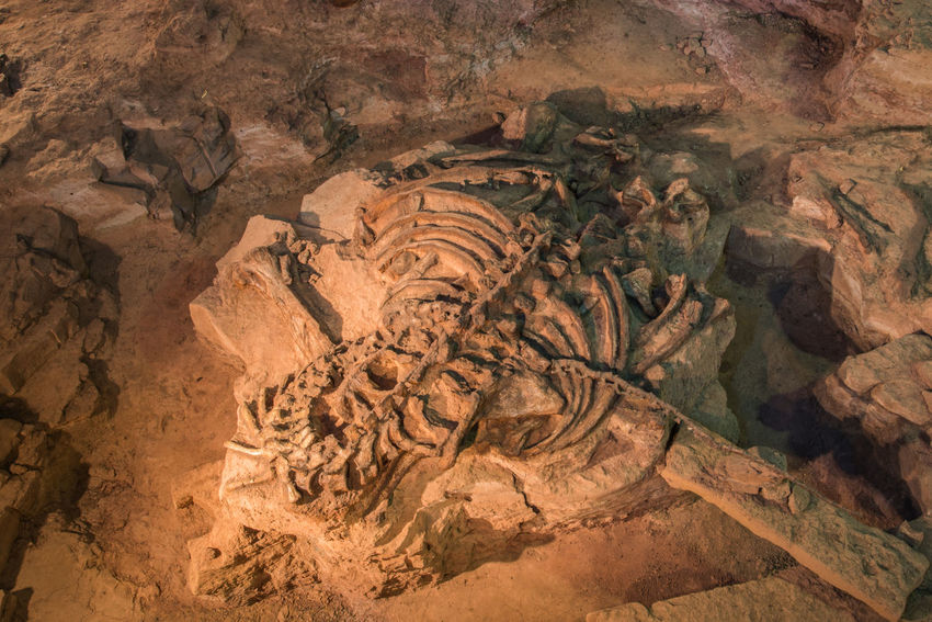 Animal Animal Bone Animal Themes Animal Wildlife Art Bone  Dinosaur Dinosaurs Education Fossil Fossil Bone Fossil Fuel Fossill Dinosaur Still Life