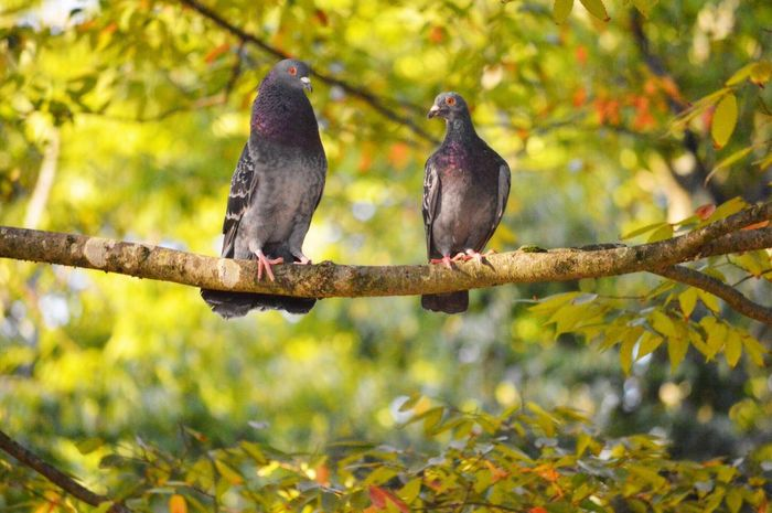 Bird Animal Themes Focus On Foreground Animals In The Wild Perching No People Day Nature Animal Wildlife Outdoors Branch Tree Mourning Dove Close-up Pigeon 鳩 Zoo 動物園 京都 Kyoto Beauty In Nature 一つの幸せが2人に 2人の悲しみは半分に