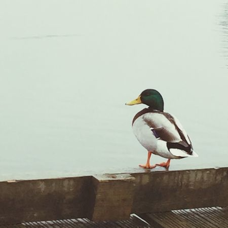 Duck perched on a jetty Duck Ducks Perched Wooden Jetty Green Head Standing