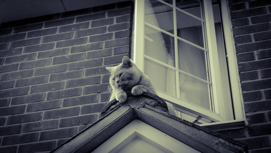 British Shorthair Roof Pet Portraits