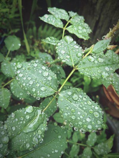RainDrop Veracruz Nature Mexico Motog5plus Water Leaf Drop Close-up Plant Green Color Rain
