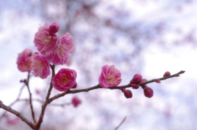 Japan Plumbrossom Flower Springtime Softness Flower Head Pink Color Beauty In Nature Selective Focus Nature