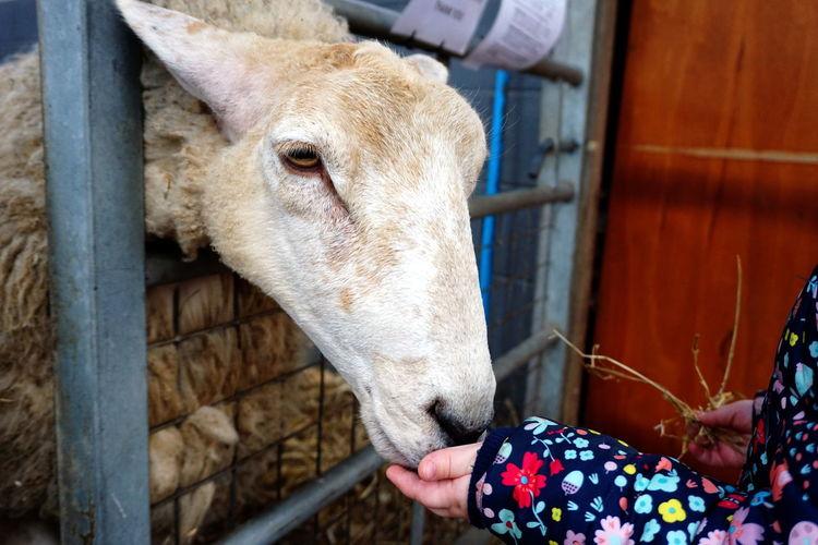 Cropped image of woman feeding sheep