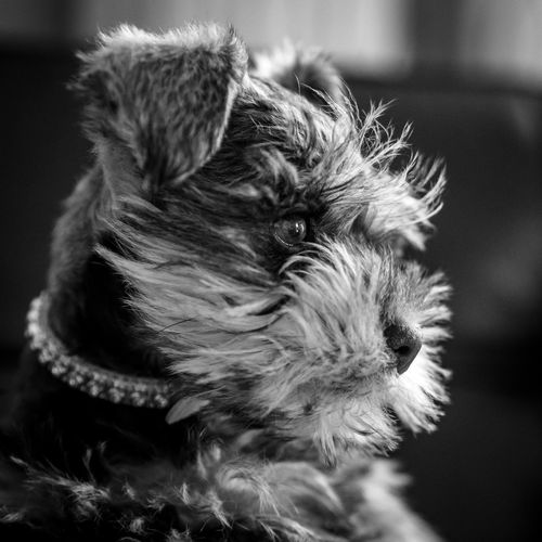 Macy the Mini Schnauzer Animal Hair Animal Portrait Animal Themes Black And White Dog Black And White Photography Canine Companion Close-up Cute Dog  Cute Pets Day Dog Dog Portrait DogLove Doglover Domestic Animals Indoors  Mammal No People One Animal Pet Pet Portrait Pets Puppy Puppy Love Schnauzer