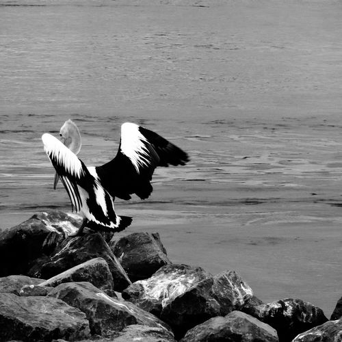 The EyeEm Facebook Cover Challenge EyeEm Nature Lover Life Is A Beach EyeEm Best Shots - Black + White Black & White Streamzoofamily Sony QX10  Pelican