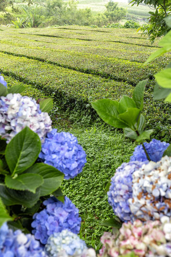 Rows of tea and hydrangea flowers on Sao Miguel in the Azores. São Brás São Brás Cha Gorreana Portugal Azores Sao Miguel Tea Green Black Production Factory Industry Rows Atlantic Europe Cha Gorreana Organic Leaf Agriculture Island Tourism Drink No People Hydrangea Outdoors