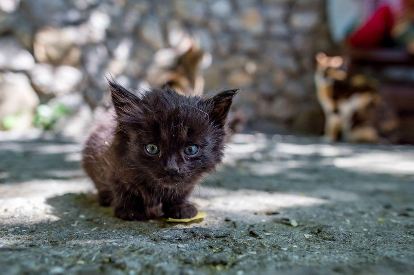 Animal Animal Head  Animal Themes Cat Day Domestic Domestic Animals Domestic Cat Feline Footpath Kitten Looking At Camera Mammal No People One Animal Pets Portrait Selective Focus Vertebrate Whisker Young Animal