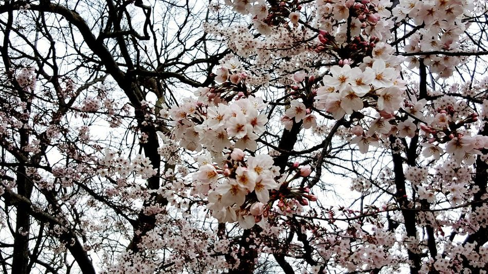 Tree Branch Low Angle View Flower Nature Beauty In Nature Fragility Growth Blossom Backgrounds No People Day Springtime Outdoors Full Frame Sky Close-up Freshness Flower Head Sakura Flower Pink Flowers Japan Spring