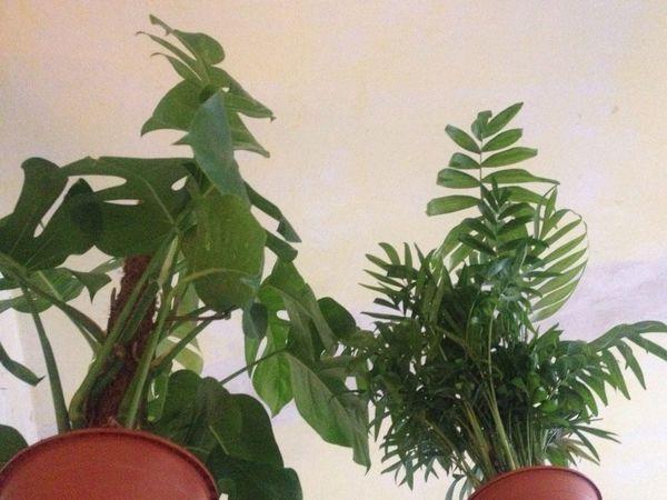 Urban jungle in progress Monstera Deliciosa Plants Room Plant