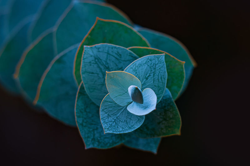 Close-up of blue flower on plant against black background