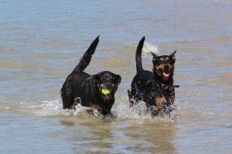 Portrait of australian kelpies playing with ball in sea