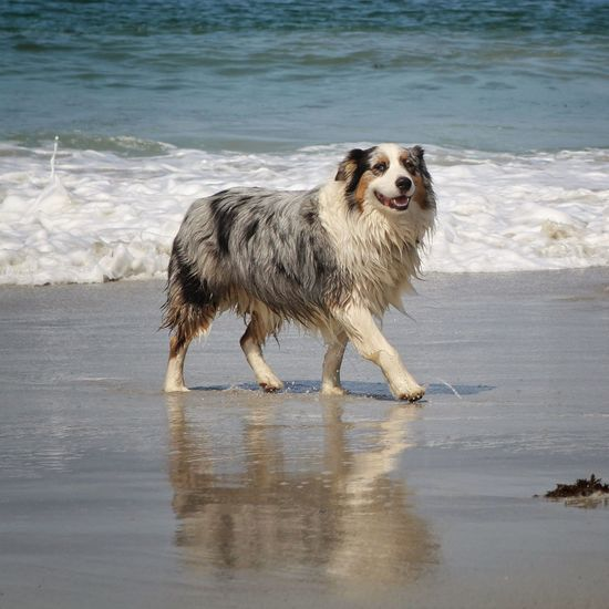 By the look of this dog I'd say if he drank martinis he'd have them 'shaken not stirred...' Beachphotography Australianshepherd Ocean Wet Dog Beach Dog Canine One Animal Mammal Domestic Pets Water Purebred Dog Sand
