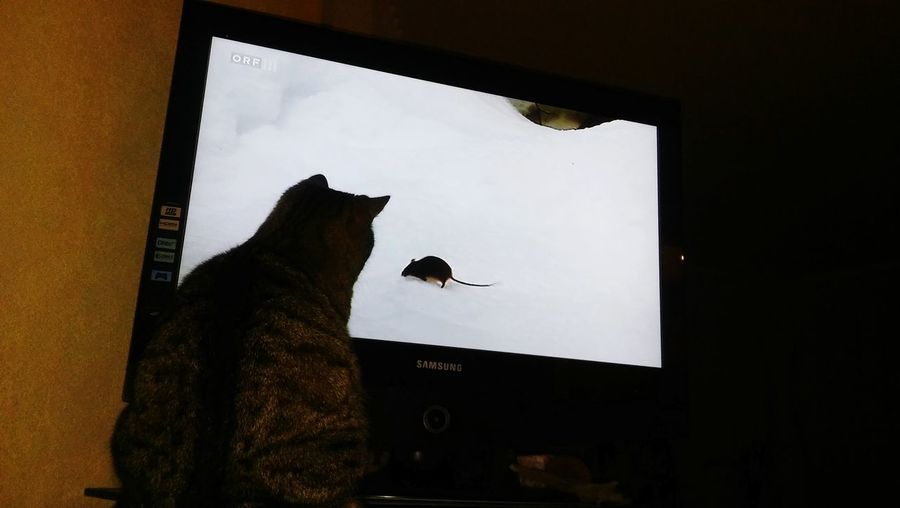 Cat Watching TV Close-up