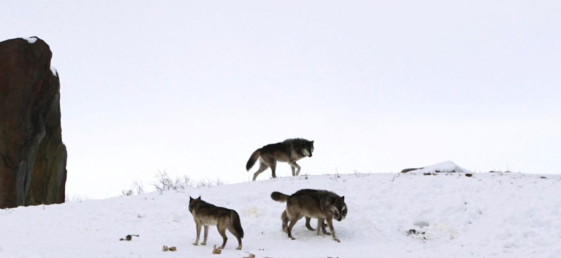 WOlves Wolf Pack Playing Pack