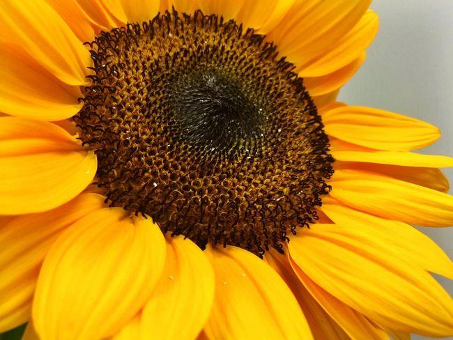 Sunflower KReynoldsPhotography CanonEOS50D