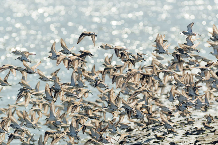 Flock of alpin sandpiper swarm  flying over sea