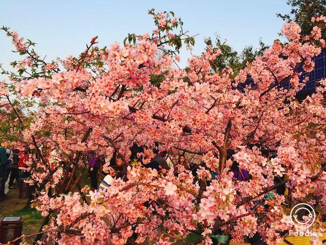 櫻花大開 心花兒怒放 看了又馬上訂機票想去日本看 Sakura Happy Spring Love Hello World Check This Out Hanging Out
