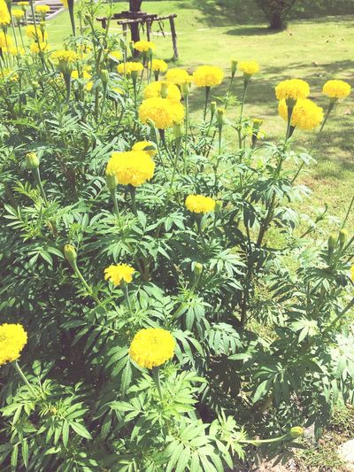 Flowers Yellow Flower Nature Plant