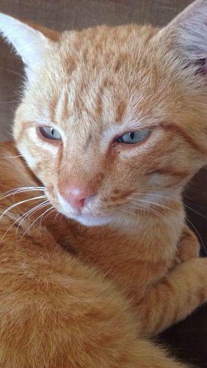 Minet Cat Green Eyes Roux