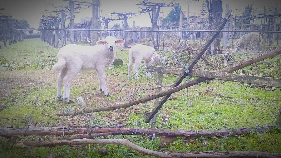 Goat in ranch